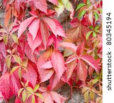 Close Up Of Red Ivy Leaf On A...
