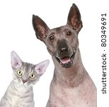 Stock photo devon rex and peruvian hairless dog funny portrait on a white background 80349691