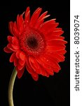 Beautiful Red Gerbera On Black...