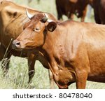 Brown Dairy Cow On The Pasture
