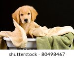 A Golden Retriever Puppy in a laundry basket full of towels. - stock photo