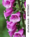 Close up of Purple foxglove (Digitalis purpurea) in bloom. Shallow depth of field. - stock photo