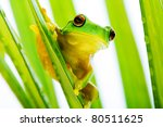 Small Green Tree Frog Holding...