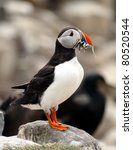 A Puffin (Fratercula arctica) with its beak full of Sand Eels - stock photo