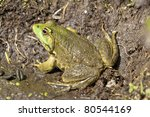 Common Toad Basking On A Muddy...