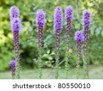 Colorful Purple Blooms of the Liatris or Gay Feather Flower