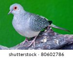 Spotted Dove Bird On The Tree...