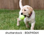Stock photo close up of a cute yellow labrador puppy playing with a green tennis ball in the grass outdoors 80694064