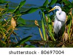 Great White Egret With Dramatic ...