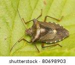 pentatoma rufipes | Shutterstock . vector #80698903