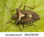 pentatoma rufipes | Shutterstock . vector #80698909