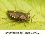 pentatoma rufipes | Shutterstock . vector #80698912