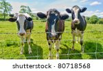 Three Cows Behind A Barbed Wir...