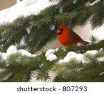 Cardinal In An Evergreen