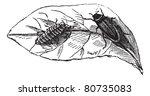 glow worm  lampyris noctiluca ... | Shutterstock .eps vector #80735083