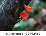 Couple red clitocybe mushroom in deep forest - stock photo