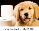 Soft Golden Retriever puppy with piles of fluffy toilet paper. - stock photo