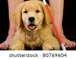 a beautiful golden retriever puppy in training to be a guide dog for the blind.  Laying in front of a woman with a cane. - stock photo