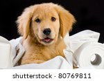 a cute golden retriever puppy laying on a bed of soft toilet paper. - stock photo
