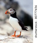 Puffin (Fratercula arctica) - stock photo