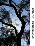 oak silhouette   Shutterstock . vector #807805