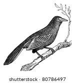 Mockingbird  Mimus Polyglottus...