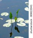 spatter dock flower or large...   Shutterstock . vector #80822041