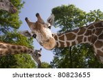 Reticulated Giraffe  Giraffa...
