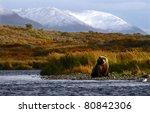 Kodiak Brown Bear Looking For...