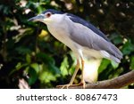 Closeup Of A Night Heron...
