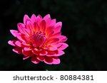 Pink Flower On Black Background.