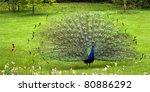 Peacock In Bagatelle Botanic...