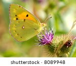 Small photo of Colias butterfly on flower