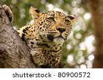 leopard high up in tree | Shutterstock . vector #80900572