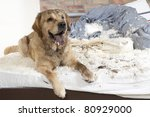 Golden Retriever Dog Demolishe...