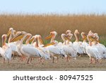 white pelicans in the danube... | Shutterstock . vector #80947525