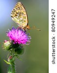Small photo of Thistle flower with Dark Green Fritillary butterfly - Argynnis aglaja