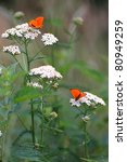 Small photo of White flowering - Achillea millefolium or yarrow with red butterfly