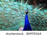 Peacock With Nice Background