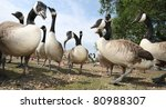 Canada Geese From A Low...