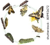 Life Cycle Of The Swallowtail...