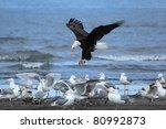 American Bald Eagle Attacks Th...