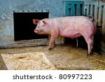 Pig in a hay covered stable - stock photo