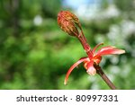 spring thriving maple bud close ... | Shutterstock . vector #80997331