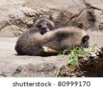 CLEVELAND, OHIO, USA - July 14:  A pair of orphaned grizzly bear cubs, seen here preparing for a nap, made their debut today July 14, 2011 at the Cleveland Metroparks Zoo. - stock photo