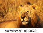 dominant male lion in golden... | Shutterstock . vector #81038761