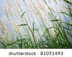 Closeup Reeds On The Field In...