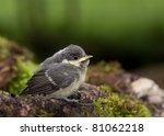 A Young Great Tit  Parus Major  ...