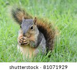 Little Squirrel Eating Peanut ...