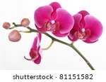 the branch of orchids on a... | Shutterstock . vector #81151582